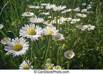 The group of daisies