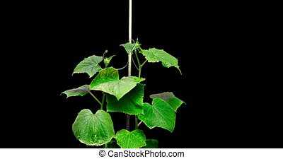 The growth of two cucumbers seeking to cling to a support, a...