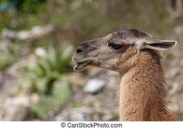 guanaco (Lama guanicoe) - The guanaco (Lama guanicoe) is a ...