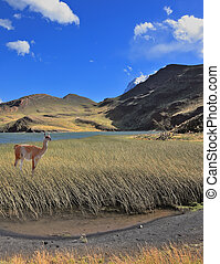 The guanaco stands on the lake