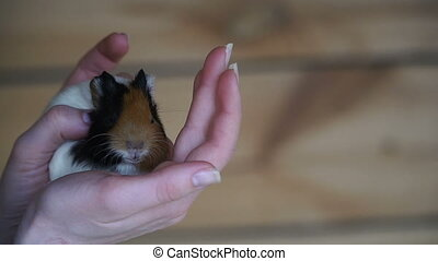 The guinea pig. Female hands hold guinea pig
