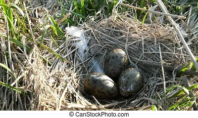 The Black-headed gull (Larus ridibundus) nest with three speckled olive eggs. Construction (nest material of bird's nest) of dry sedge with a mixture of feathers. Guide to bird nests