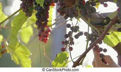 The hand of the winemaker cuts with scissors ripe, organic vine, harvest