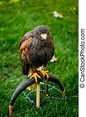 The Harris's hawk or bay-winged hawk or dusky hawk, is a medium-large bird of prey