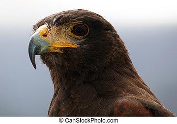 Harris's Hawk - The Harris's Hawk or Harris Hawk formerly ...