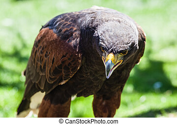 Parabuteo unicinctus - The Harris's Hawk or Harris Hawk (...