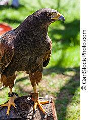 Bay-winged Hawk - The Harris's Hawk or Harris Hawk (...