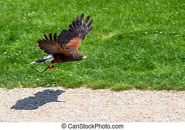 Harris Hawk - The Harris's Hawk or Harris Hawk (Parabuteo ...