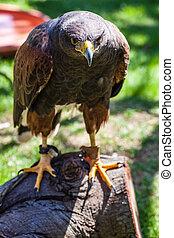 Dusky Hawk - The Harris's Hawk or Harris Hawk (Parabuteo ...