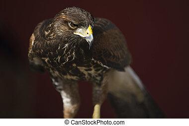 Harris's Hawk - The Harris's Hawk or Harris Hawk (Parabuteo ...