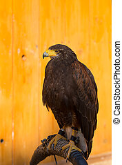 Harris Hawk (Parabuteo unicinctus) - The Harris's Hawk or ...