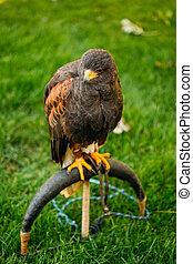The Harris's hawk (Parabuteo unicinctus) is a medium-large ...