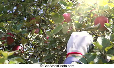 The Harvest of Apples