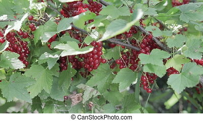 The harvest of red currant. Close up