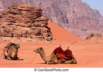 The Hashemite Kingdom of Jordan-Wadi Rum - Two camels in...