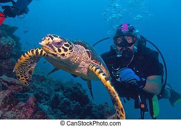 the, hawksbill 烏龜, 游泳, 從, 潛水者