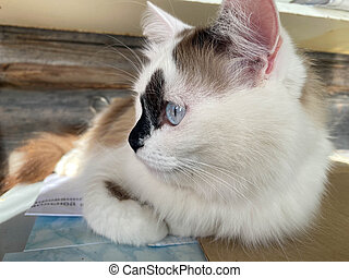 The head and muzzle of a white with black spots fluffy beautiful cat with blue eyes and long whiskers and ears, lying on the bed