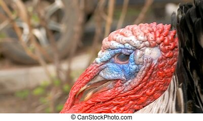 the head close up the turkey with colorful growths on the beak angry male slow-motion video