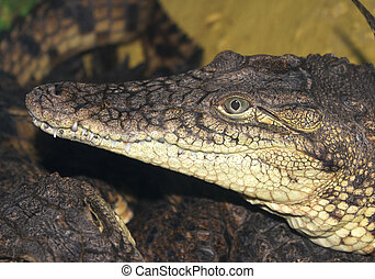 The head of a crocodile close up.