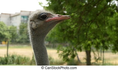 The head of a curious ostrich standing in a zoo in Ukraine in summer in slo-mo