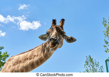 The head of a giraffe against blue sky with clouds