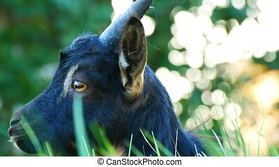 The head of funny black goat who grazes in a meadow - The...