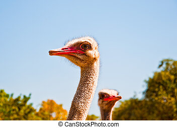The Head of ostrich