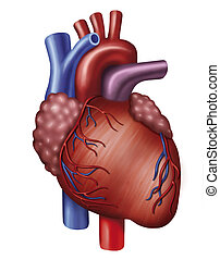 The heart - Descriptive illustration of heart with aorta and...