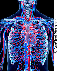 The heart - the human vascular system - the heart