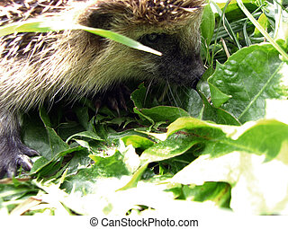 The hedgehog in a grass