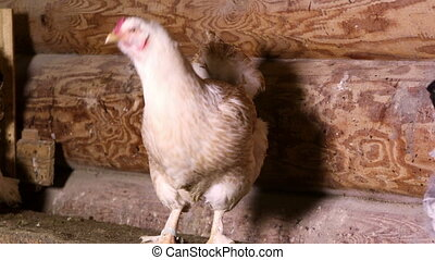 The hen sitting at the roost in the henhouse