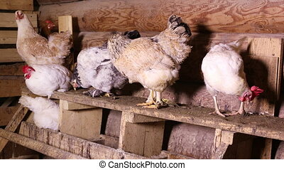 The hens in the henhouse - Group of domestic chickens...
