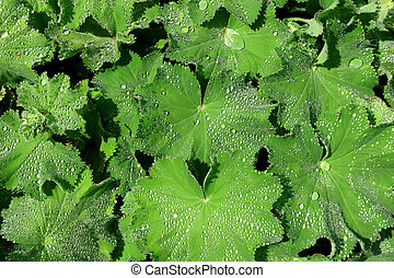 The Herb, Ladies Mantle - The herb Ladies Mantle, spattered...
