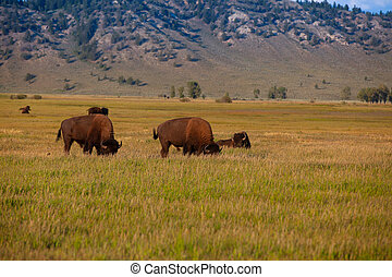 The herd bison in Yellowstone National Park, Wyoming. USA.