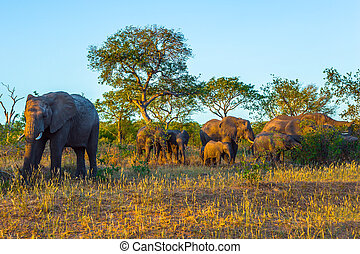 Gold sunset in the Kruger Park - The herd of African ...