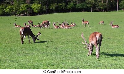 The herd of fallow deers on a meadow