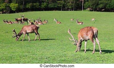 The herd of fallow deers on a meadow