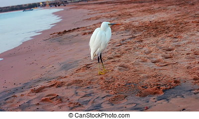 The Heron on the Beach of the Red Sea in Egypt