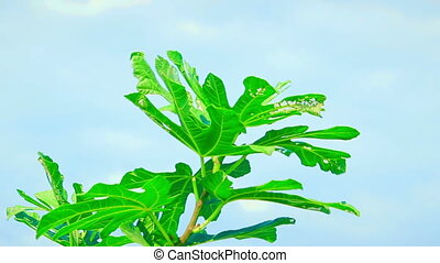The highest branch of a common fig (Ficus carica) tree with bright green leaves against the blue sky