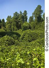 Kudzu - The Highly invasive Kudzu plant choking out a forest