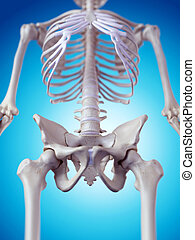 The hip bone