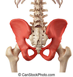 The hip bone - medical accurate illustration of the hip bone