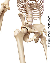 The hip joint - medical accurate illustration of the hip...