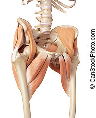 The hip muscles - medical accurate illustration of the hip...