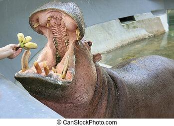 The hippopotamus in the zoo