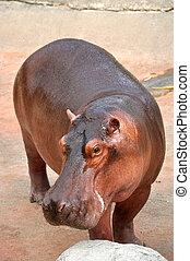 hippopotamus - The hippopotamus is semi-aquatic, inhabiting...
