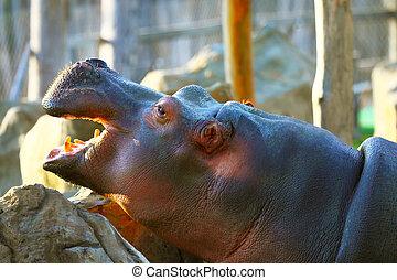 The hippopotamus, or hippo in zoo