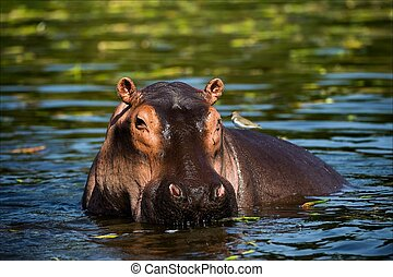 The hippopotamus. On the bright midday sun hippopotamus in...
