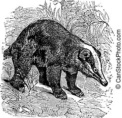 The Hog Badger or Arctonyx collaris. Vintage engraving.