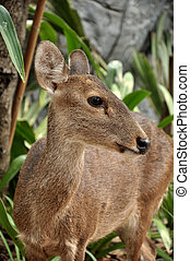 Hog Deer - The Hog Deer is a small deer whose habitat ranges...